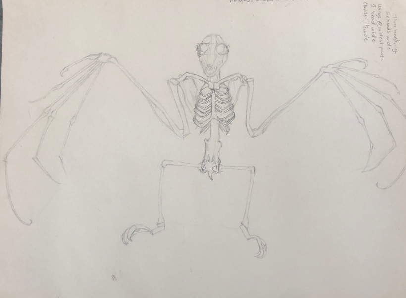 Bat Skeleton Study, pencil on paper