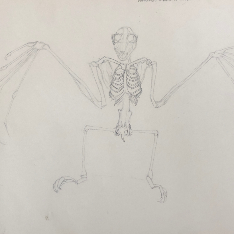 Bat Skeleton Study, pencil on paper
