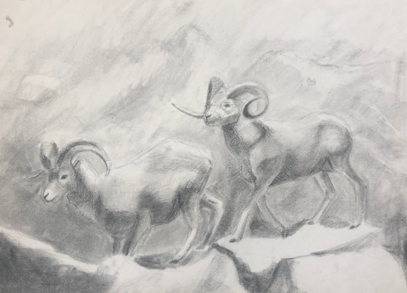 Mountain goat studies at The Academy of Natural Sciences, powdered graphite and pencil on drawing paper