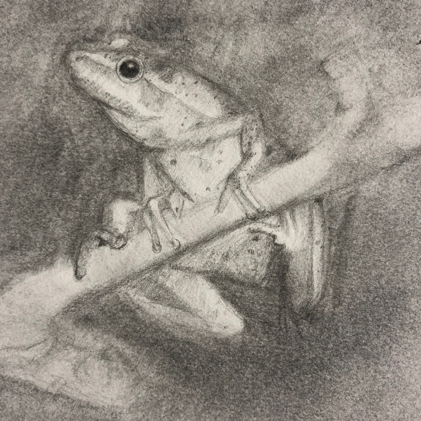 Spring Peeper Enjoying the Night, pencil and powdered graphite on paper