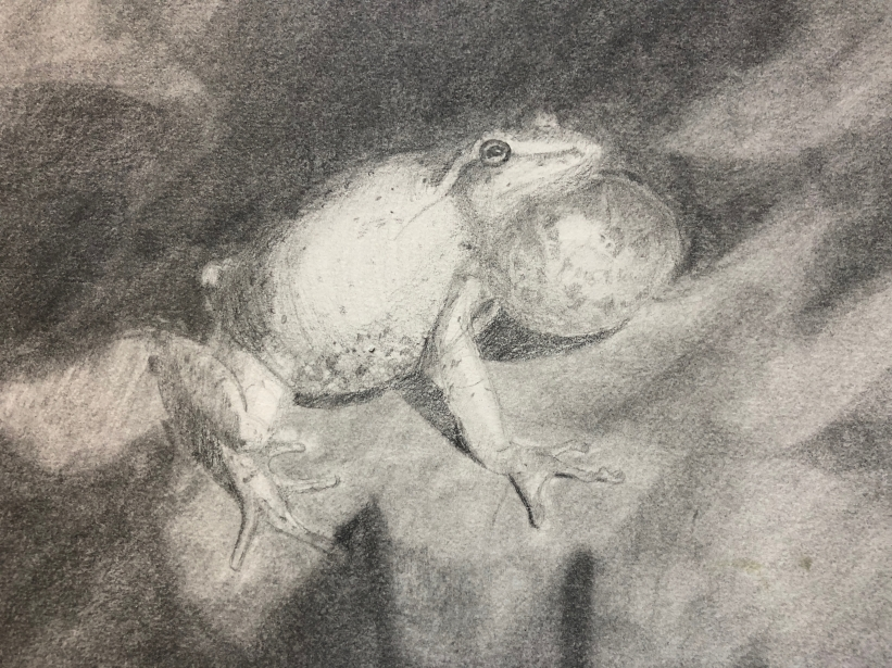 Spring Peeper Singing, pencil and powdered graphite on paper