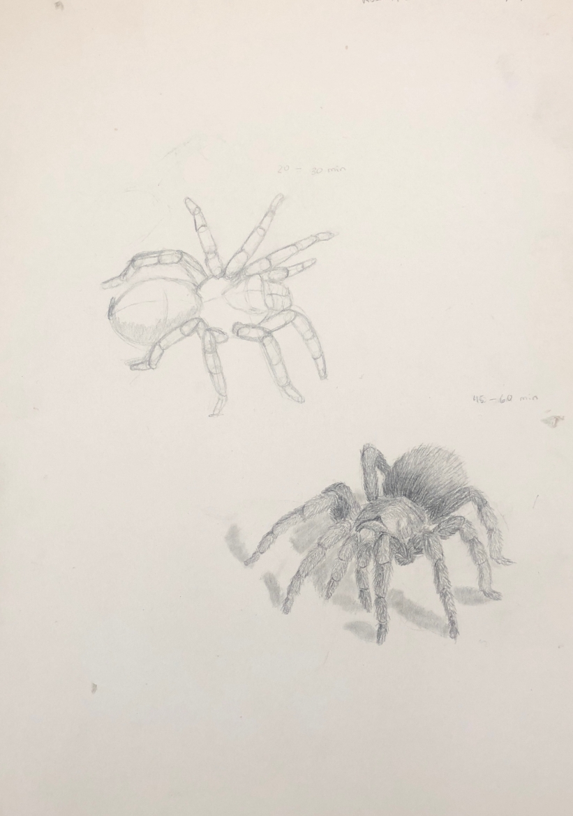 Rose Footed Tarantula Studies, Academy of Natural Sciences, pencil on drawing paper