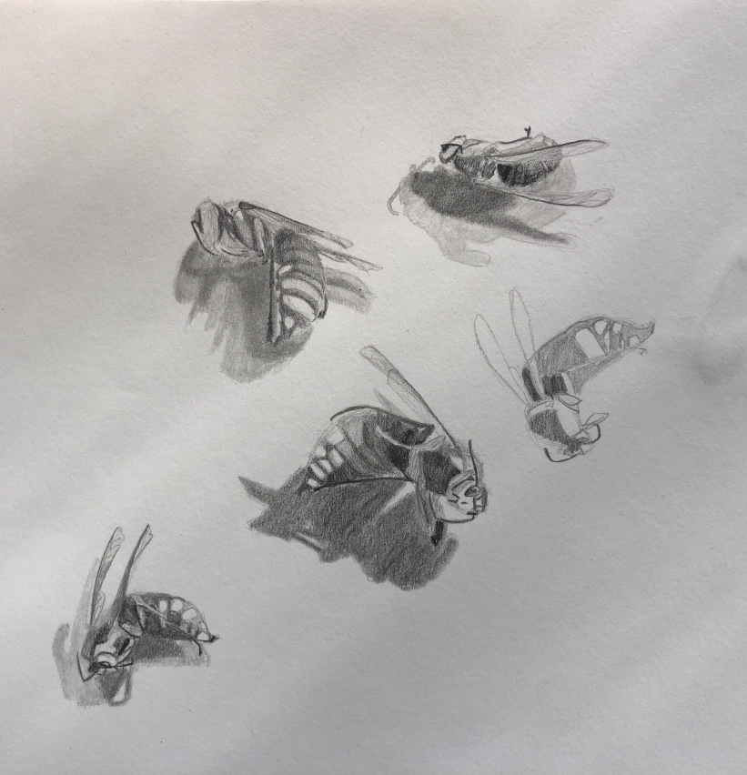 Wasp Studies, pencil on paper
